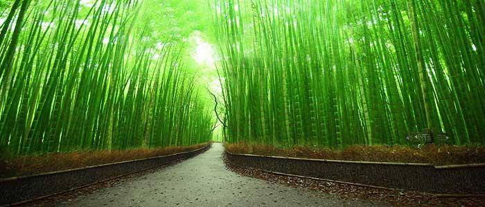 çin-bambusu-yetiştiriciliği