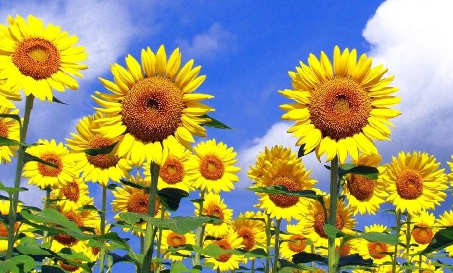 ayçiçeği-yetiştiriciliği