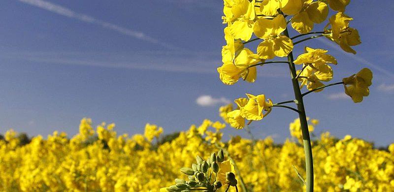 kanola-bitkisi-yetiştiriciliği