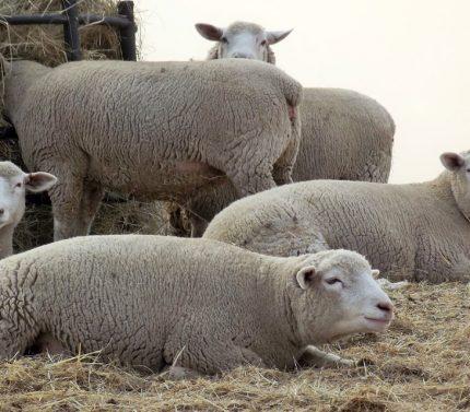 ille-de-france-koyunları
